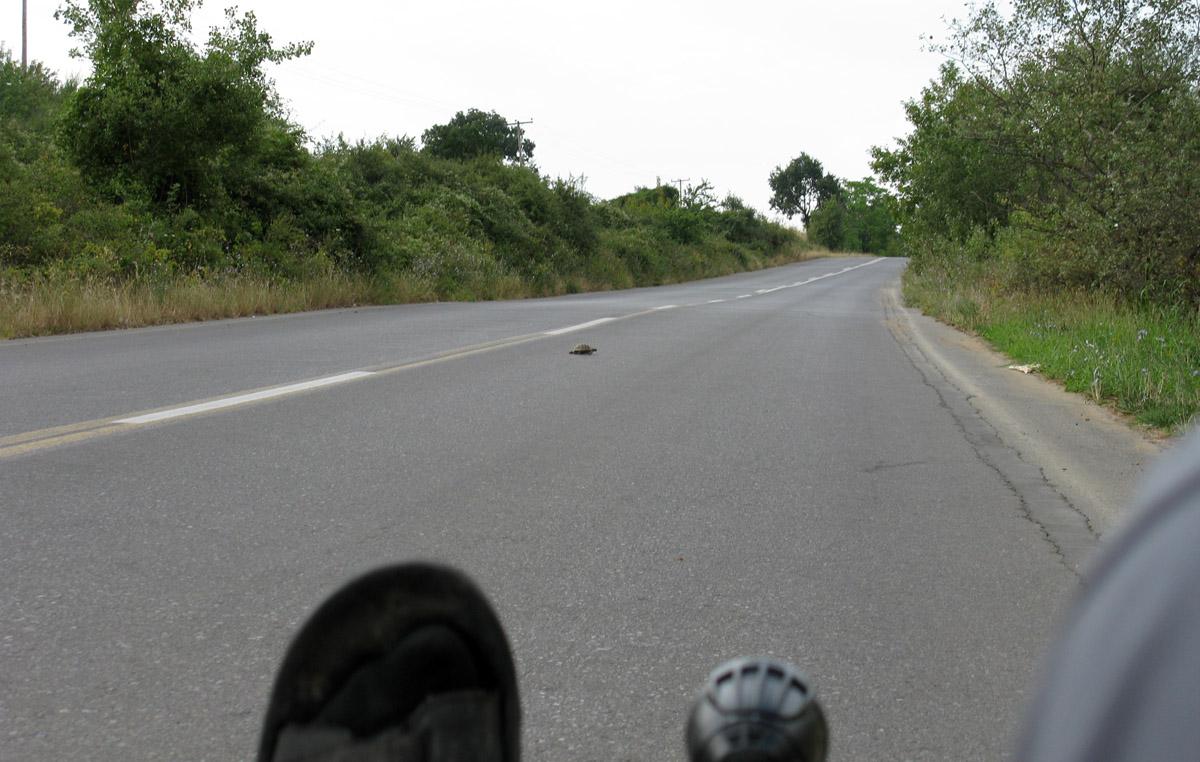 želva prečka cesto